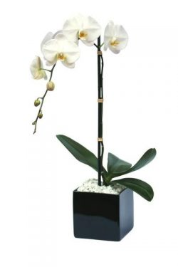 white orchid plant 2